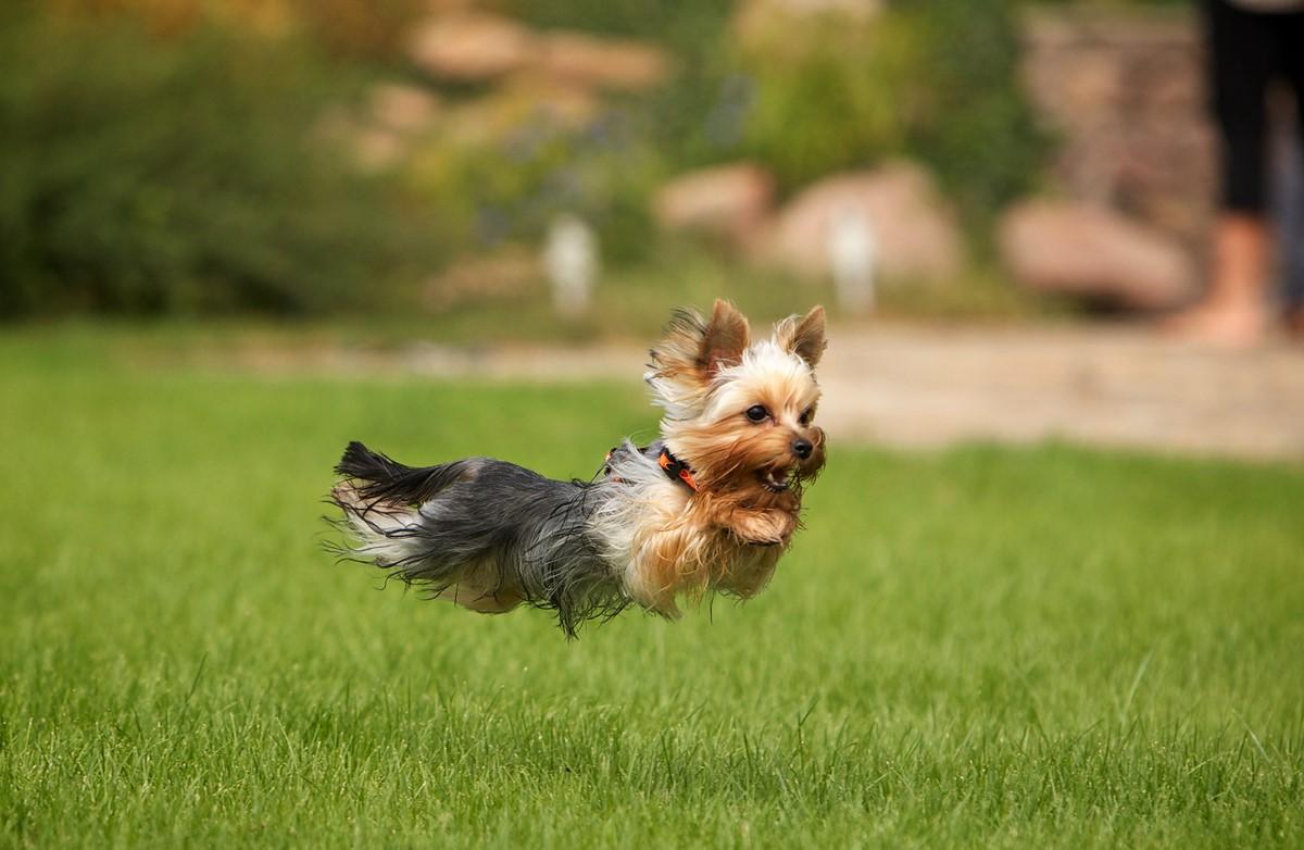 Йорк лает на прохожих и других собак